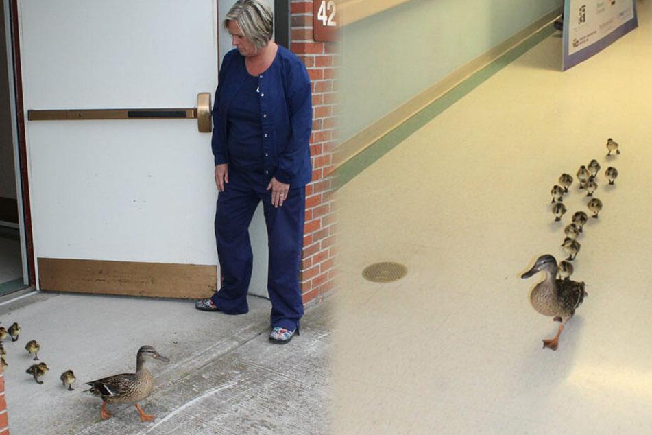 Entenfamilie watschelt jedes Jahr durch Klinik, der Grund ist einfach nur süß