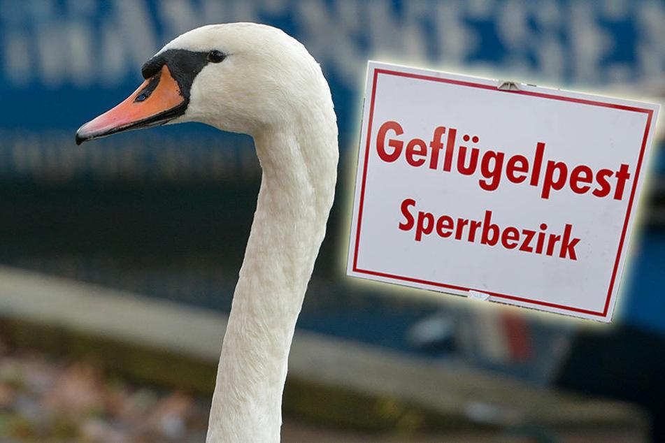 Bestätigt! Neuer Vogelgrippe-Fall in Sachsen