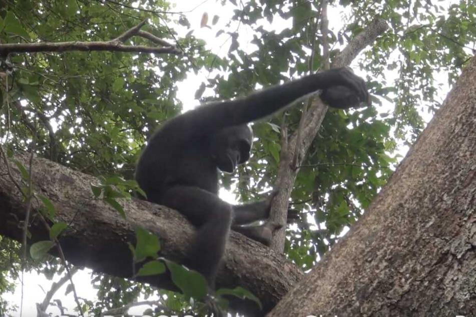 Schimpansenweibchen Gia schlägt an einem Baumstamm eine Schildkröte auf, um an ihr Fleisch zu kommen.