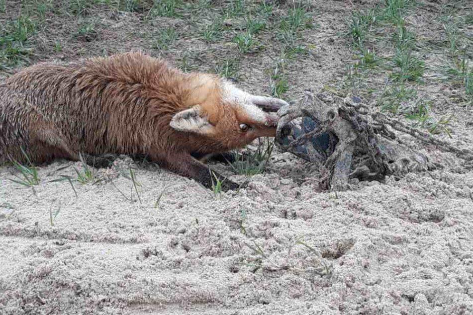 Grauenvoller Anblick: Der Fuchs hängt mit verdrehtem Kopf in dem Tellereisen.