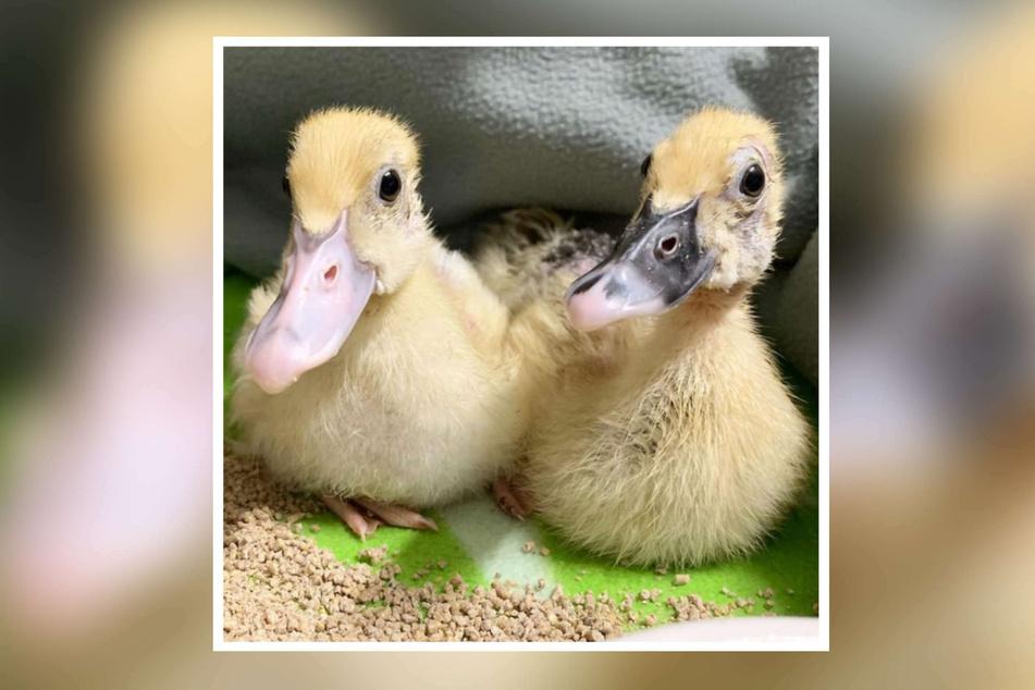Die Entenküken hatten sich auf dem Foto dicht aneinandergekauert. Sie müssen sich nun erst einmal von den Strapazen der vergangenen Tage erholen.