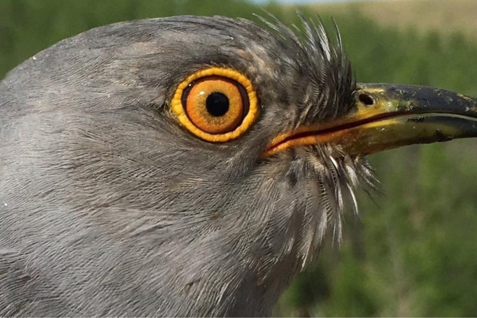 Forscher sind begeistert: Kuckuck legt erstaunliche Reise hin