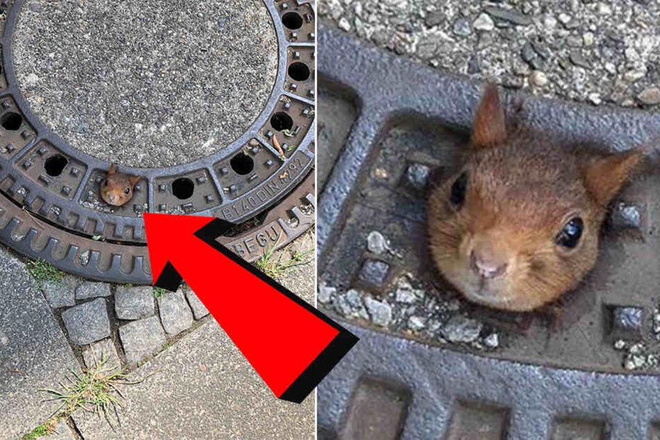 In dieser misslichen Lage wurde das Eichhörnchen im Gullydeckel gefunden.