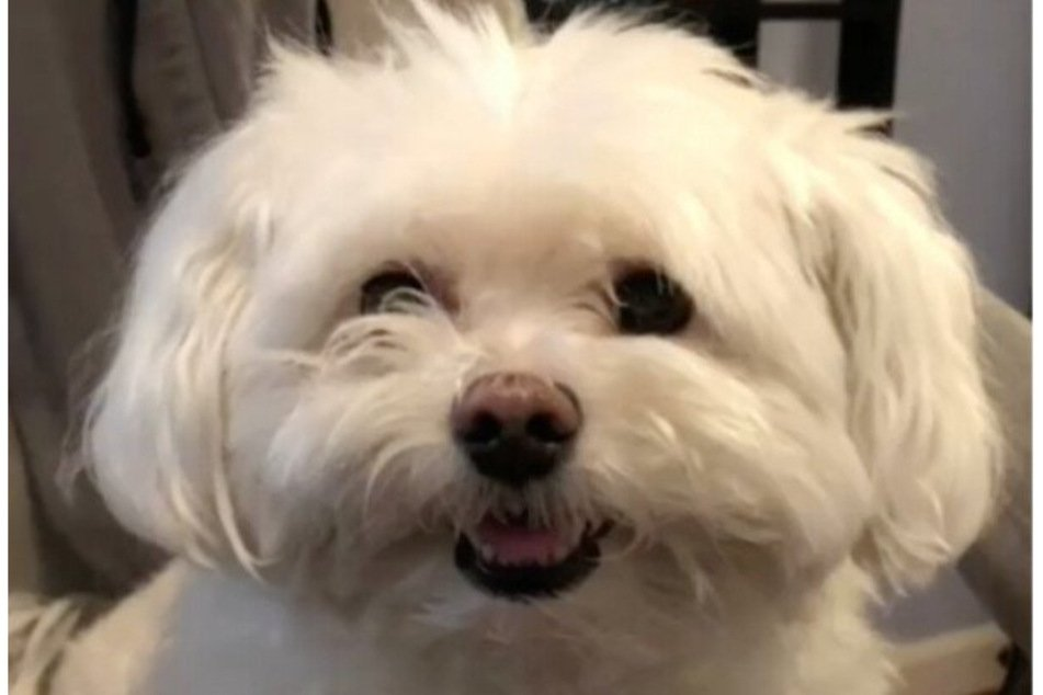 Adorable TikTok pooch has a hilarious hair mishap after a visit to the dog groomer
