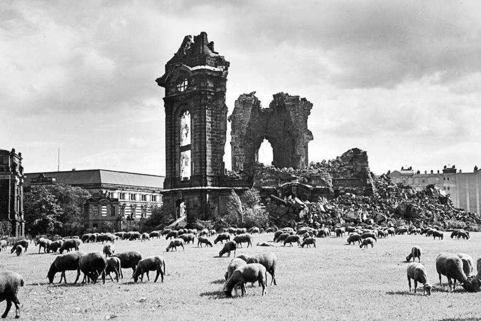 BU-B:Kaum ein historisches Dresden-Buch kommt ohne dies Bild aus: Schlafkes Schafe 1957 vor der Frauenkirche.