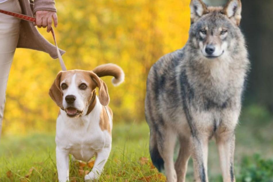Wenn plötzlich der Wolf auftaucht: Das müssen Hundehalter beachten!