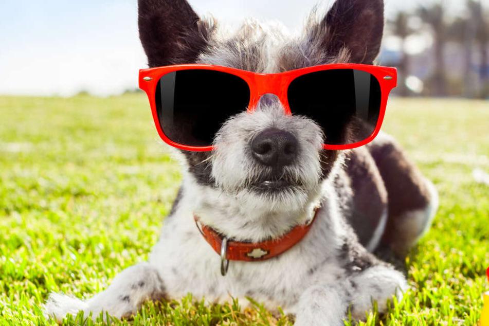 Nicht nur wir Menschen und unsere Haut haben mit der Sonne zu kämpfen. Auch Hunde und Katzen sollten möglichst vor praller Sonneneinstrahlung geschützt werden (Symbolbild).