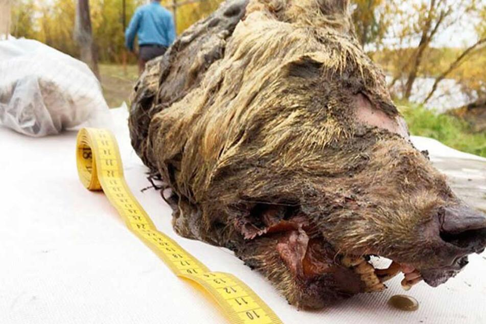 Schrecklicher Wolf wird dieses Tier genannt, das vor tausenden Jahren ausstarb.