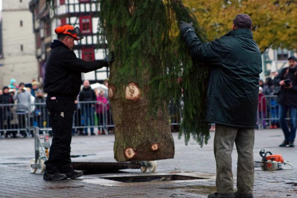 3,10 Meter ist der Baum breit und wurde am Samstag noch ein wenig in Form gebracht.