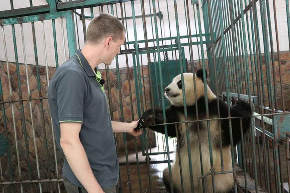 """Hallo, ich bin der Neue für Berlin. Der Berliner Tierpfleger Christian Toll """"begrüßt"""" das Panda-Weibchen """"Mengmeng"""" in der Zuchtstation in Chengdu."""