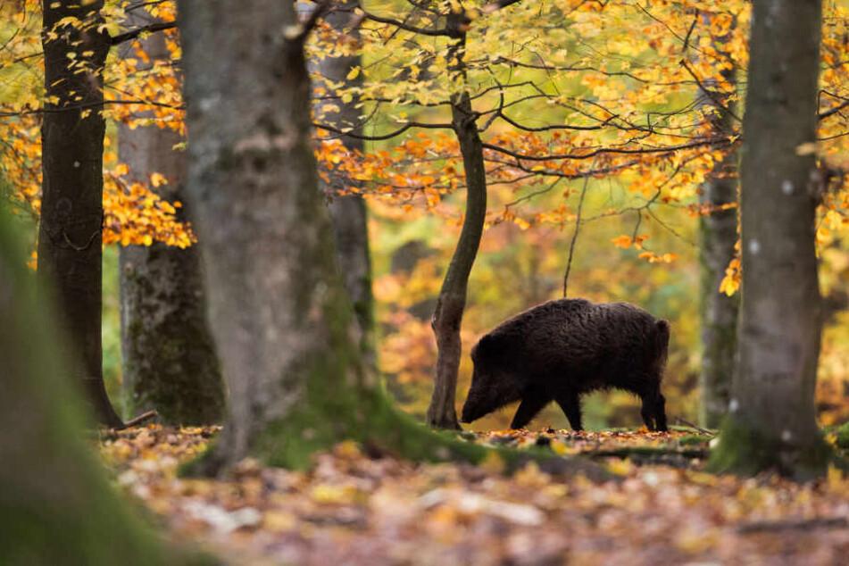 Ein Wildschwein im Wildschweingehege in Stuttgart bei einem Waldspaziergang. (Archivbild)