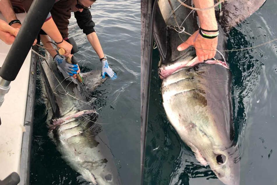 Der Hai wurde mit einem Plastikring um den Hals gefunden. Dieser brachte das Tier fast um!