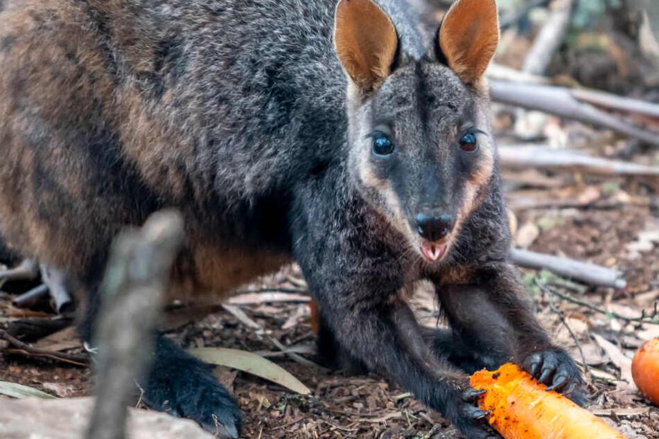 Karotten-Hilfe in Australien: Damit nicht noch mehr Wallabys sterben! Retter sorgen für Futternachschub