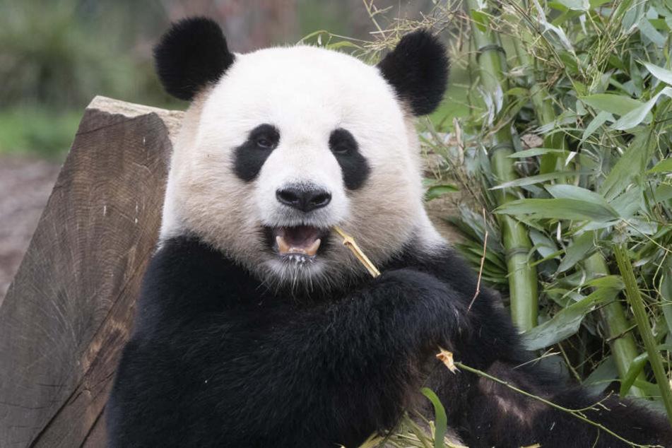 Der Zoo Berlin hält die einzigen Riesenpandas in Deutschland.