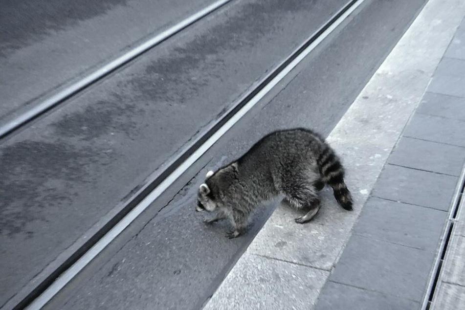 Betrunken war der Waschbär auch über die Schienen der Straßenbahn getorkelt.