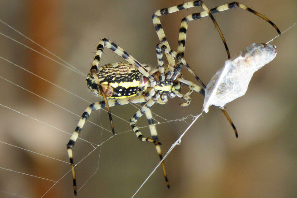 Alle Spinnen auf der Welt fressen im Jahr zusammen zwischen 400 und 800 Millionen Tonnen Insekten und andere Kleinsttiere.