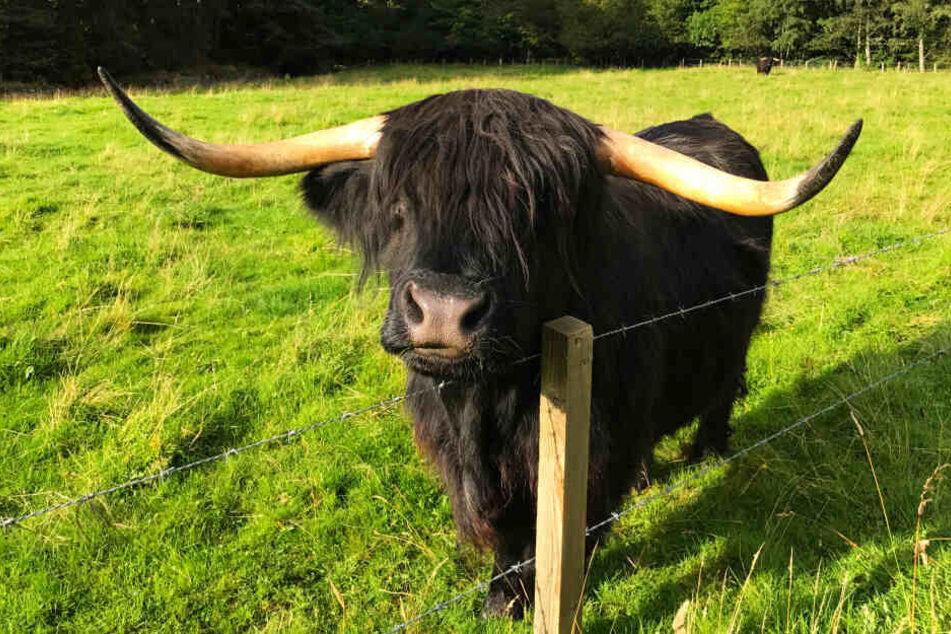 Solch ein schottischer Highland Cattle-Bulle wird vermisst (Symbolbild).
