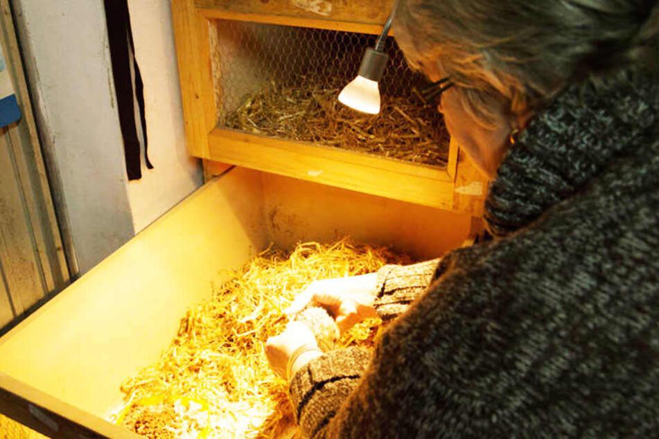 Aufopferungsvoll kümmert sich Igel-Expertin Edith Haselau aus Lübbecke in ihrem Igel-Hotel um kranke Stacheltiere.