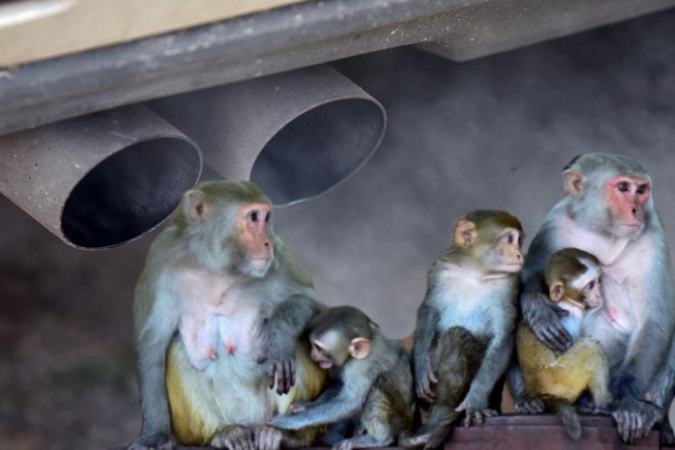 Zehn Affen wurden gezielt den Schadstoffen ausgesetzt.
