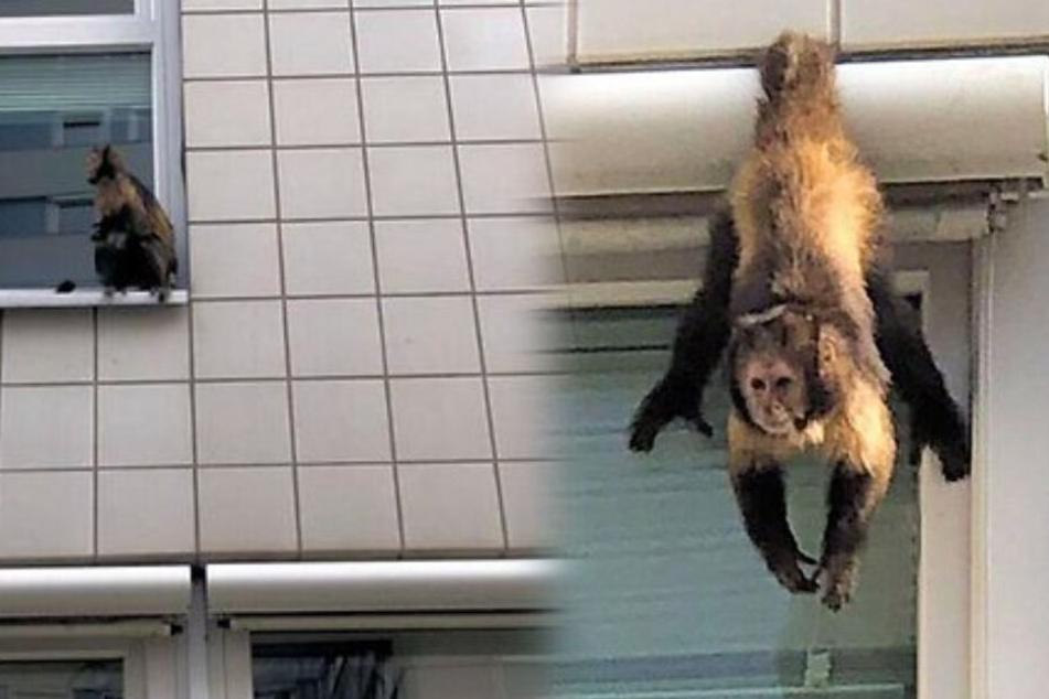Der Affe hängt in Berlin-Friedrichsfelde an einer nahe gelegenen Hochschule ab.