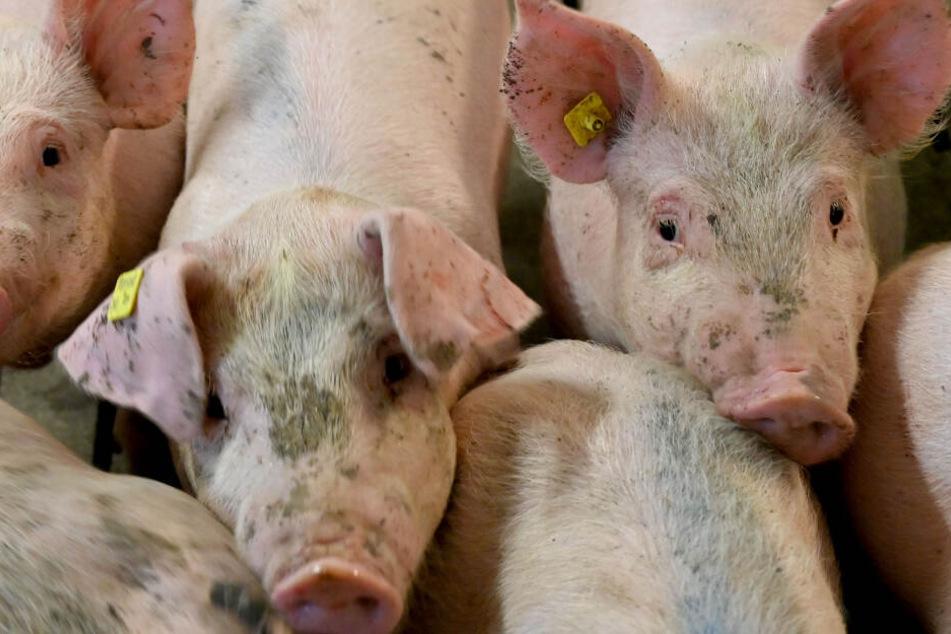 Mehr als 1600 Schweine verendeten oder mussten getötet werden. (Symbolbild)