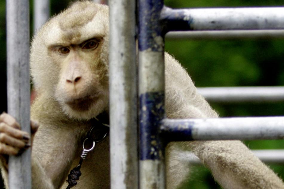 Ein Affe sitzt auf einer mit Kokosnüssen beladenen Ladefläche eines Transporters.(Archivbild)