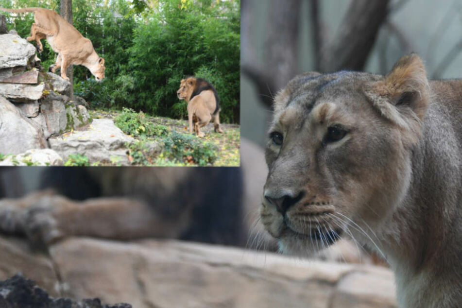Die beiden Löwen sollen sich bereits näher gekommen sein.