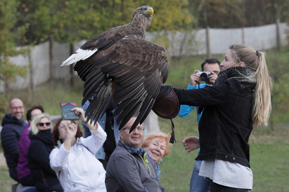 Auge in Auge: In der Falknerei Herrmann in Plauen können Besucher - wenn sie sich trauen - Greifvögeln hautnah begegnen.