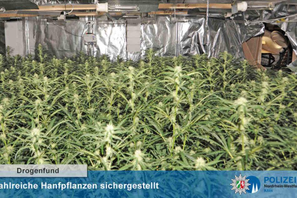 In Köln-Bilderstöckchen fand die Polizei 1333 Cannabis-Pflanzen.