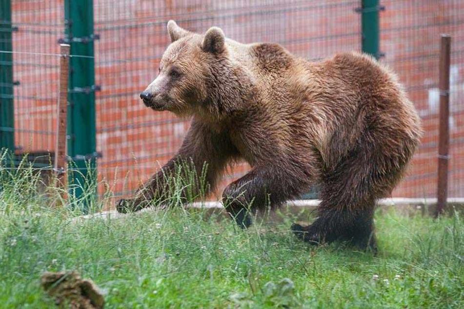 Das Bärengehege musste evakuiert werden. Der Regen hatte den unter Strom stehenden Sicherheitszaun unter Wasser gesetzt.