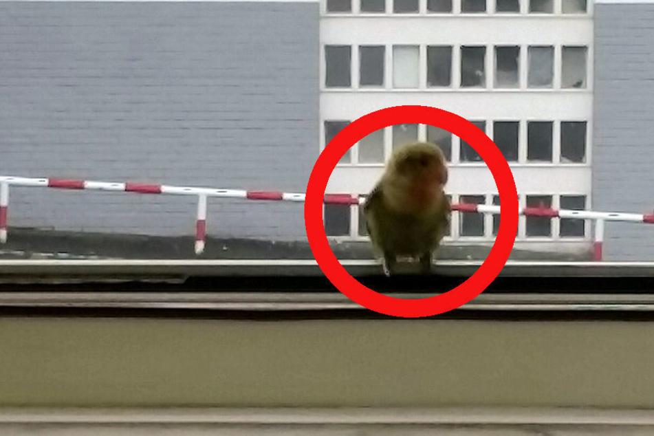 Jetzt befindet sich der kleine Papagei im Tierheim.