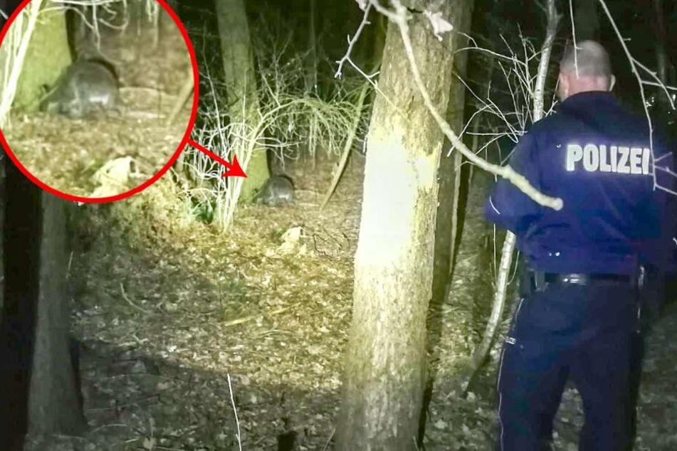 Polizei und Feuerwehr suchen gerade dieses Bennett-Känguru.