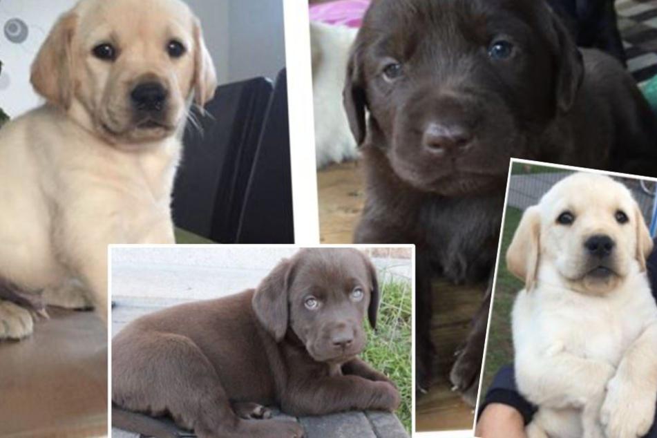 Wie konnte die Diebin (27) die kleinen Labradore nur solch einer Gefahr aussetzen und sie ihrer Mutter entreißen?