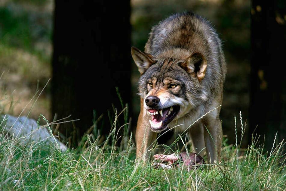 Immer wieder reißen Wölfe Nutztiere - und jetzt offenbar sogar eine Ziege, die einer Kita gehört