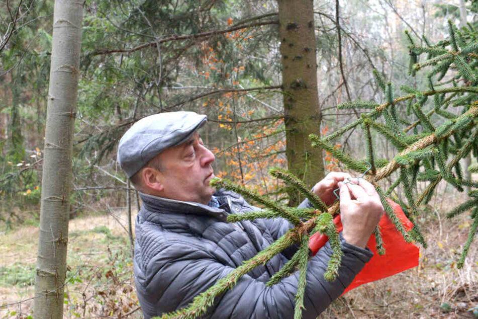 Für den Transport zur Hoflößnitz befestigt Jörg Hahn (57) am Fichtenzipfel eine rote Fahne.