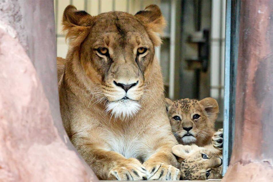 Die zwei Löwenkinder im Thüringer Zoopark Erfurt haben jetzt einen Namen: Latika und Makuti heißen die beiden putzigen Kätzchen.