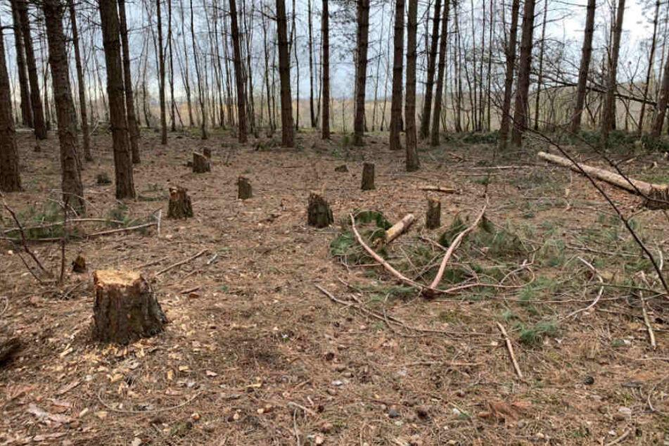 Die Baumstümpfe stammen laut Polizei von Besetzern, die selbst im Hambacher Forst Bäume gefällt haben.