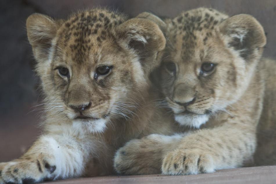 Die beiden Löwenkinder sind die ersten Löwen, die jemals in Erfurt geboren sind.