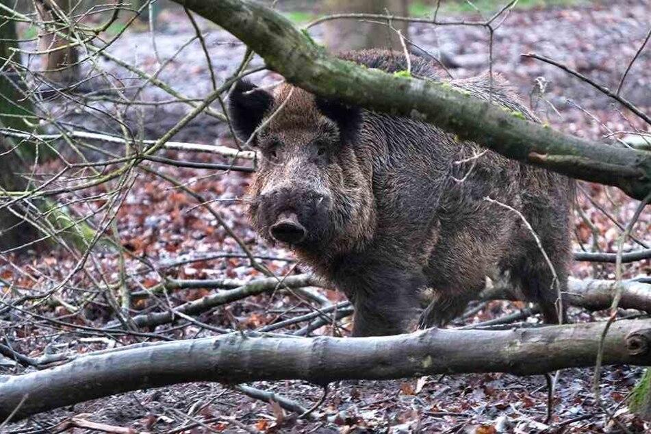 Angst vor der Seuche: Sachsens Wildschweine dürfen ganzjährig geschossen werden.