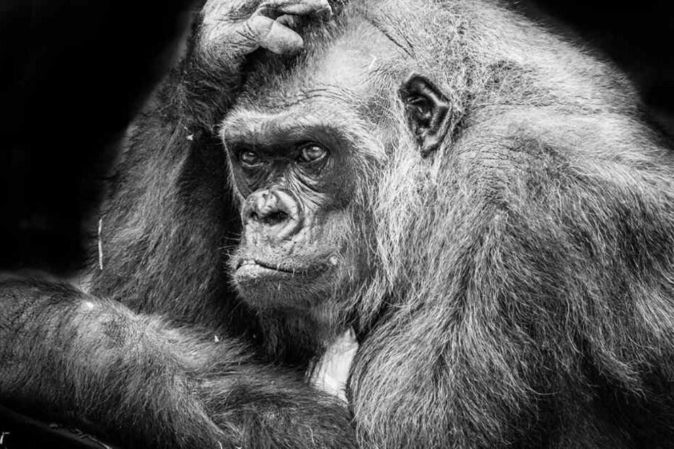 Mit 45 Jahren gehörte Tumba zu den alten Gorillas.