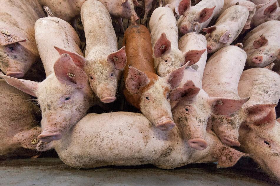 Gentechnik macht's möglich: Männliche Schweine mit weiblichen Geschlechtsorganen