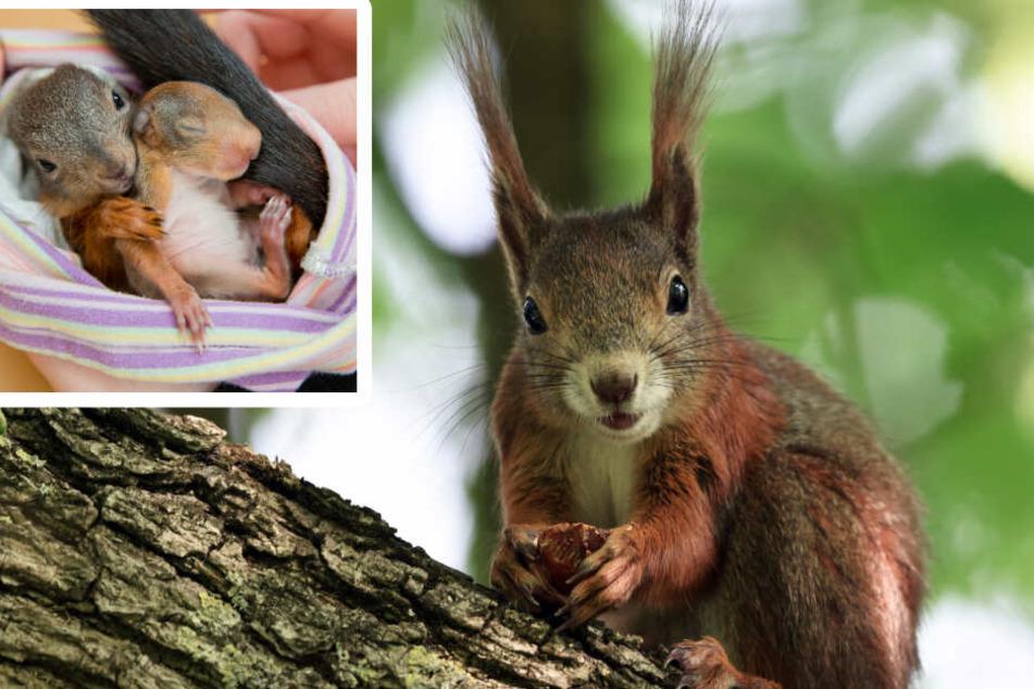 """""""Die sterben so qualvoll"""": Bau-Boom tötet Lebensraum für Eichhörnchen"""