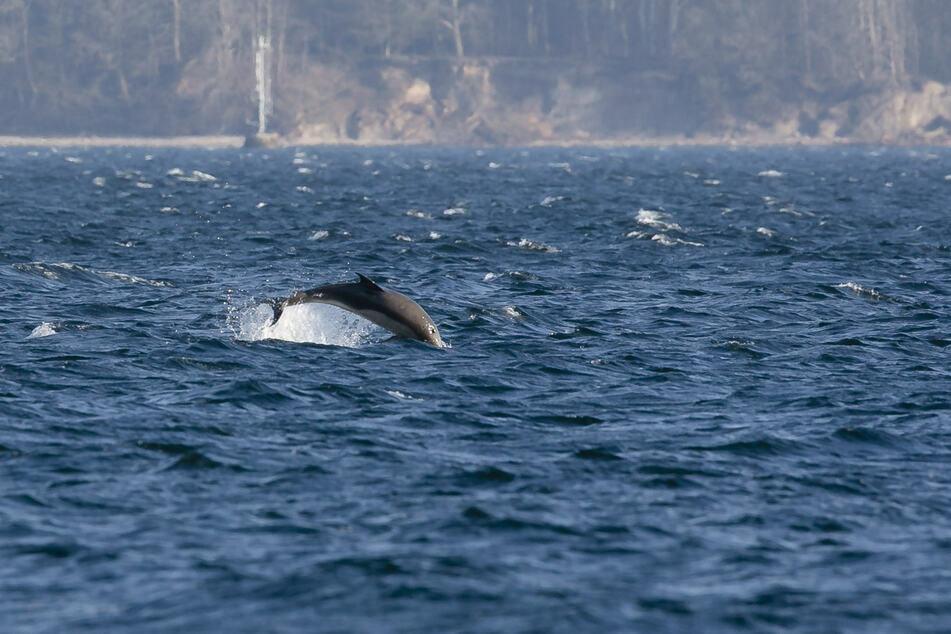 Der Delfin springt in der Eckernförder Bucht aus dem Wasser.