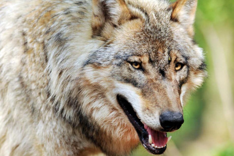 Die Wölfe sollen das Loch im Zaun selbst geschaffen haben (Symbolfoto).