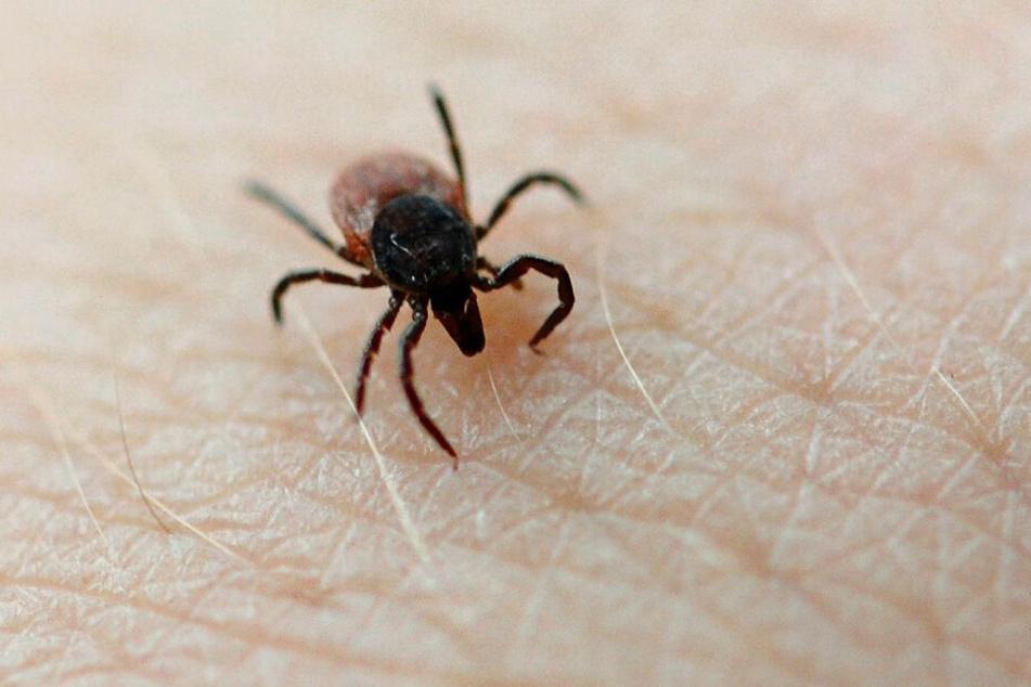 In Risikogebieten trägt schätzungsweise jede 100. Zecke das FSME-Virus in sich.
