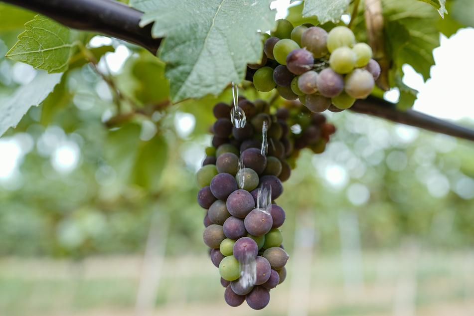 In Hamburg soll wieder Wein angebaut werden. (Symbolbild)