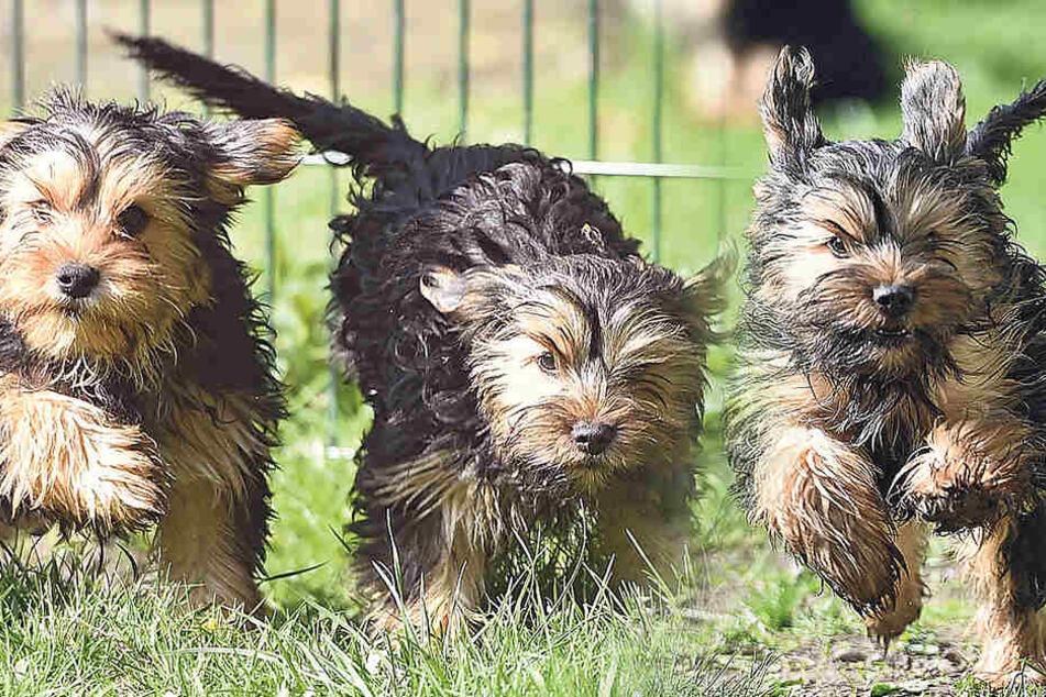 Die Terrier-Mischlinge Tick, Trick und Track wurden aus einem Schmuggel-Transporter gerettet.
