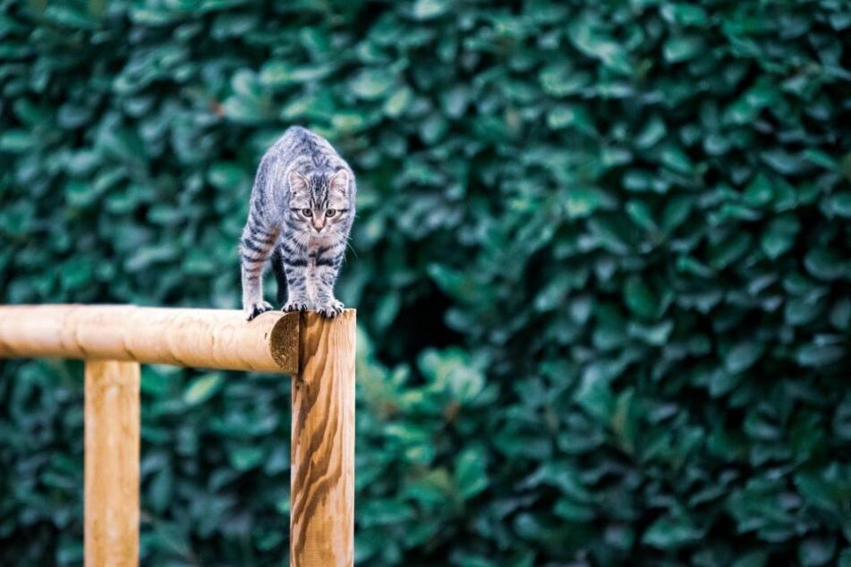 Katzen landen fast immer auf ihren Pfoten dank des Stellreflexes.