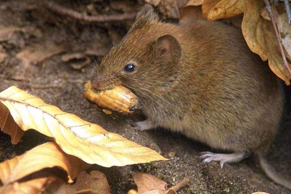 Klein, aber oho: Die Rötelmaus kann das Hantavirus über ihren Kot verbreiten. (Archivfoto)