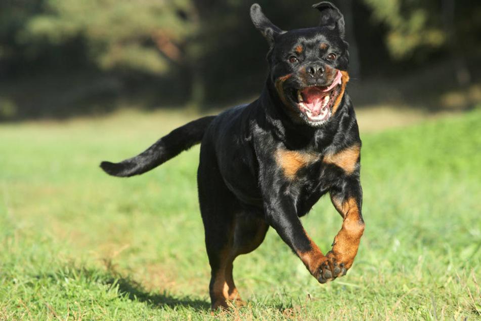Rottweiler beißt Frau, Herrchen beleidigt Opfer und zeigt Stinkefinger